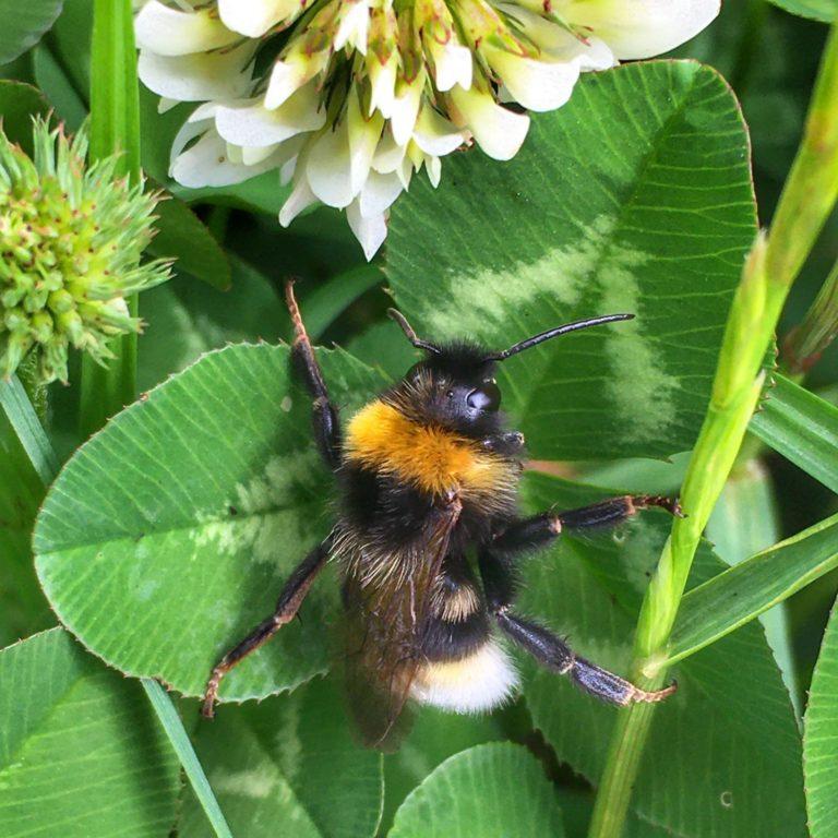 Bumblebee. Photo: Mark North.