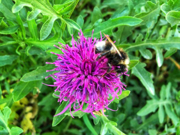 Bumblebee on knapweed. Photo: Mark North.