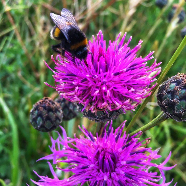 Bumblebee on foxglove.