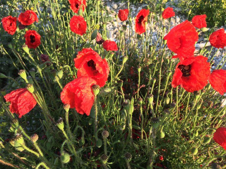 Poppies. Photo: Mark North