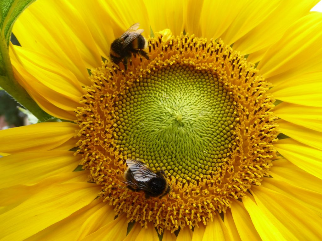 Two honey bees on yellow flower