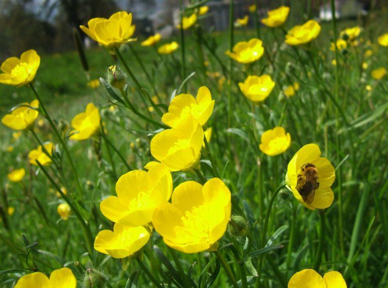 Bumblebee on buttercups.