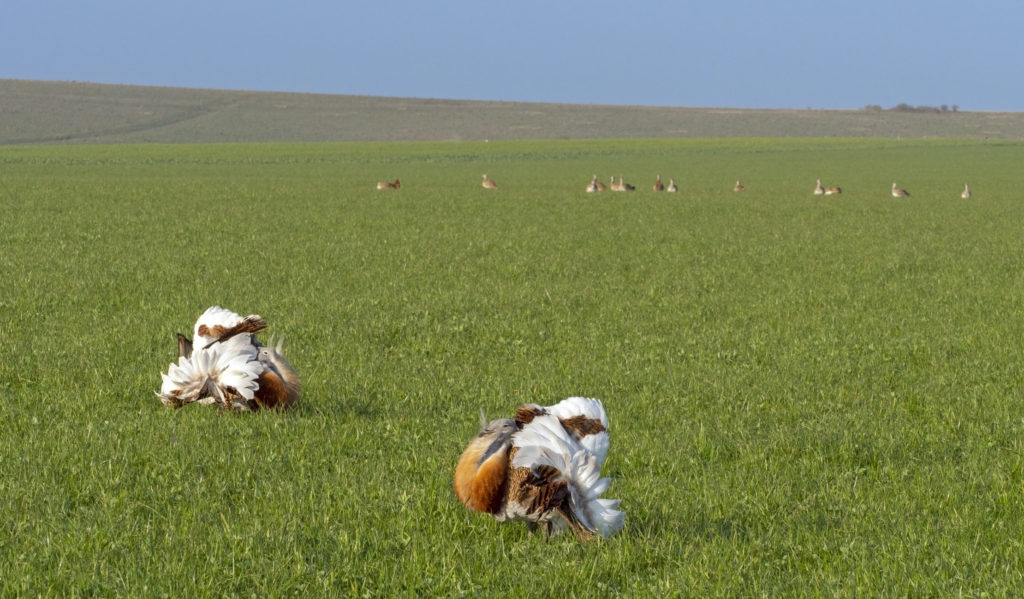 Male great bustards displaying while females watch