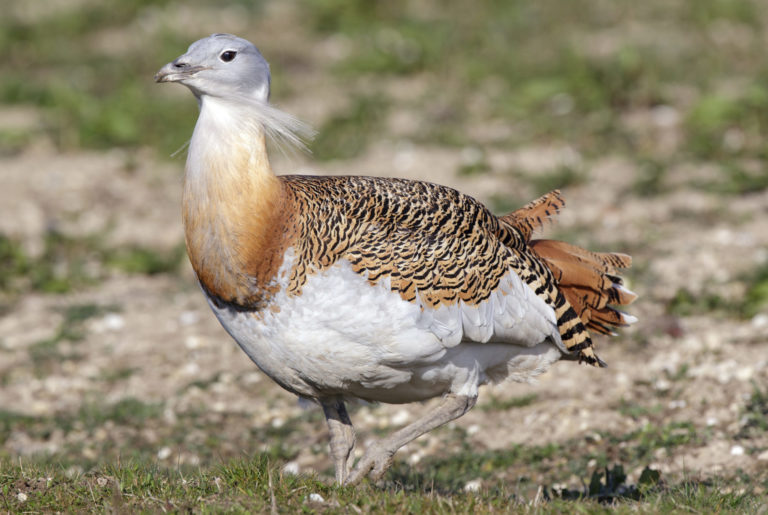 Adult make great bustard.