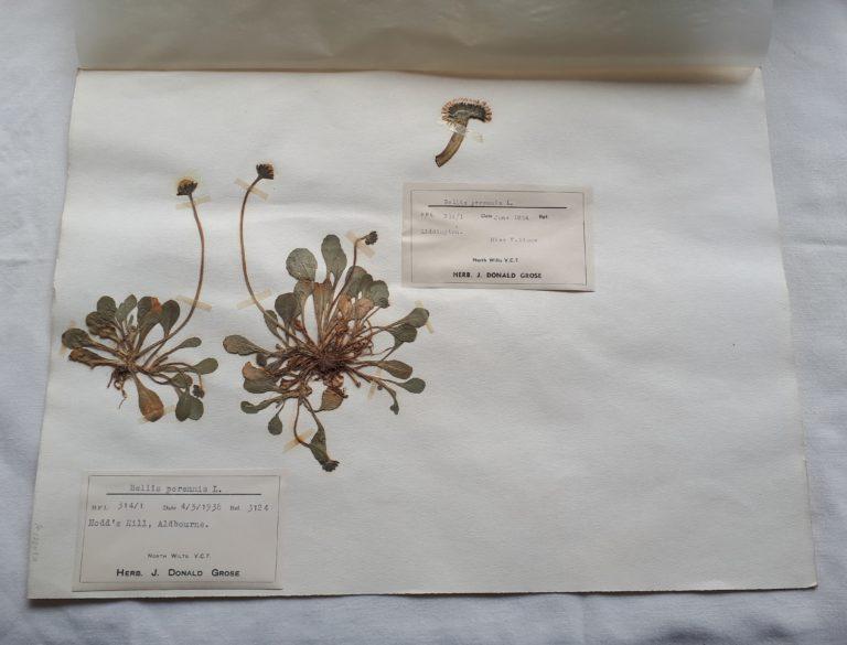 Dried Bellis daisies