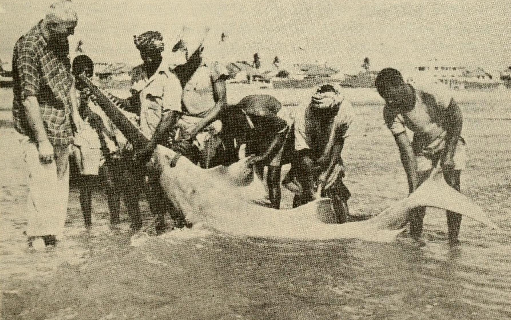 Historic image of sawfish being caught by group of people