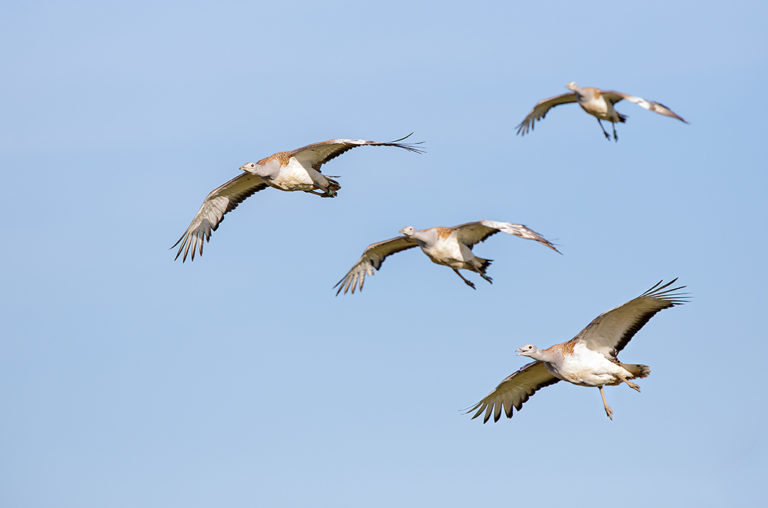 Four great bustards in flight