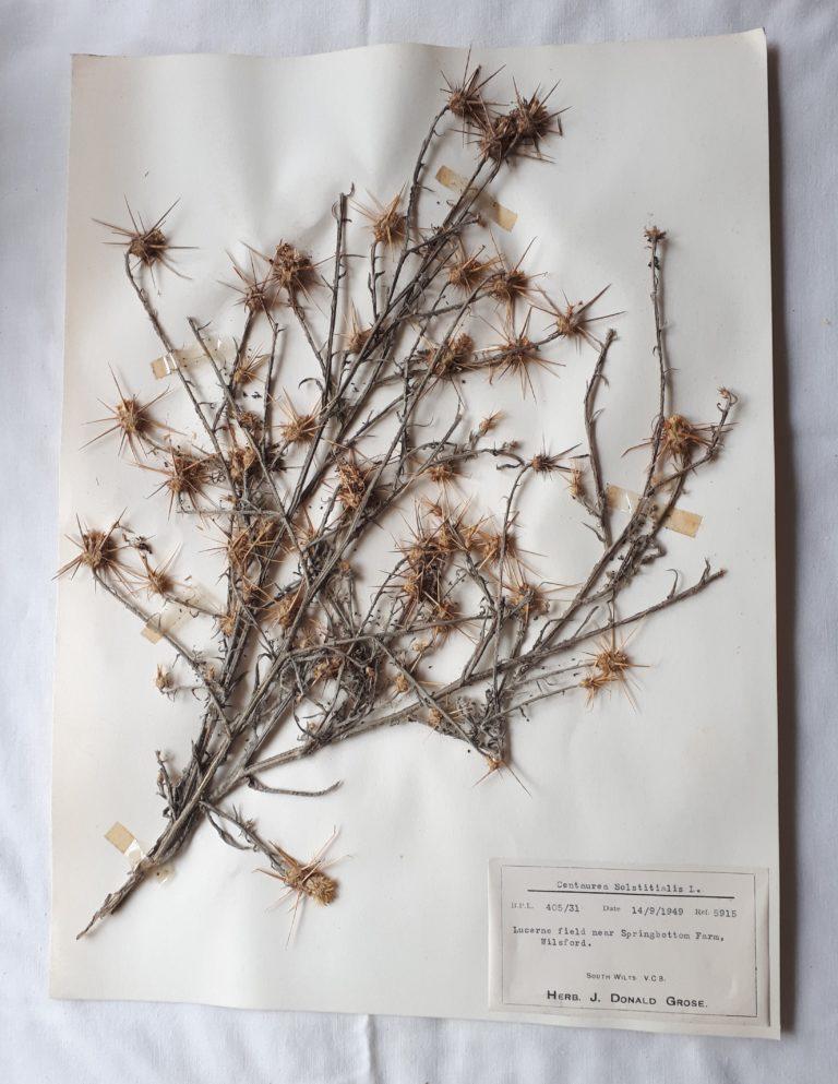 Dried knapweed