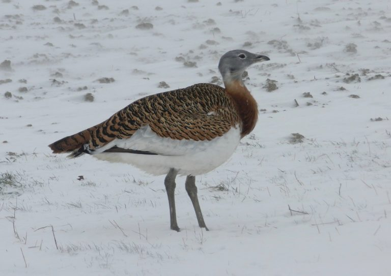 Female great bustard in snow