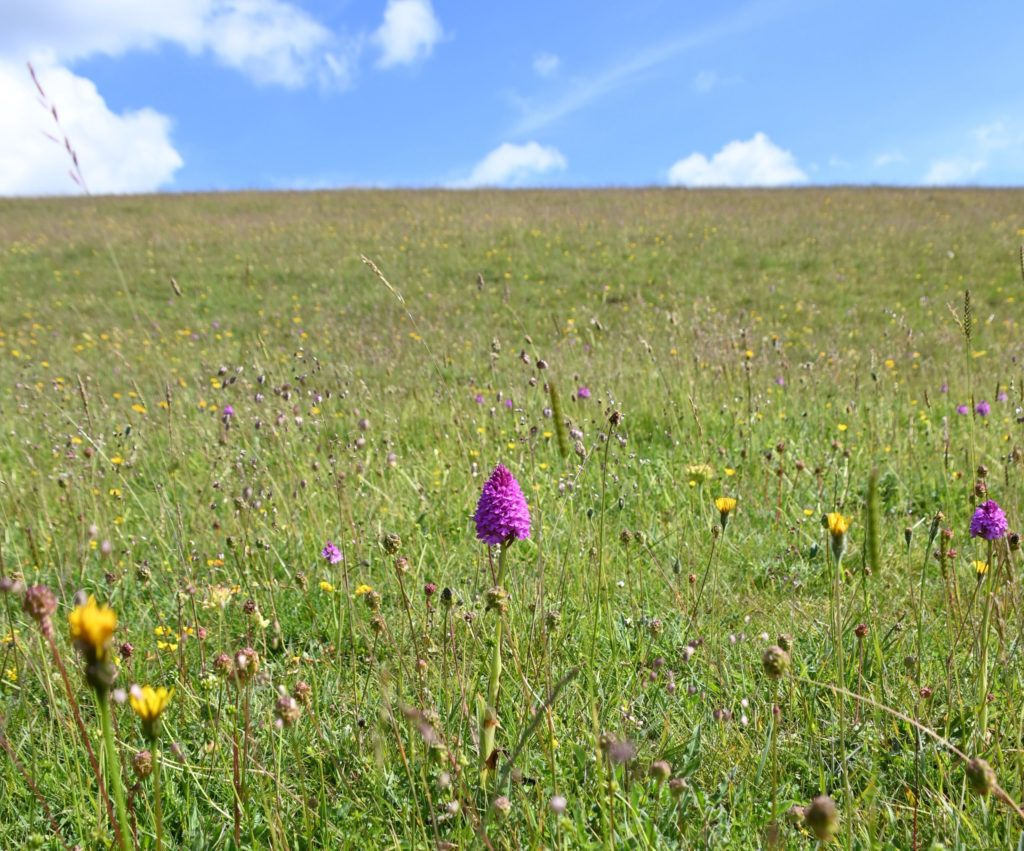 Chalk grassland with orchid in foreground