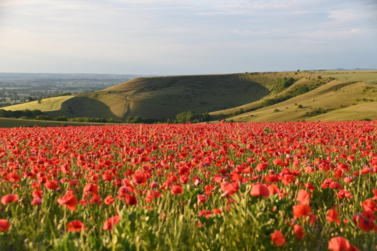 View of chalk downland with poppies in foreground