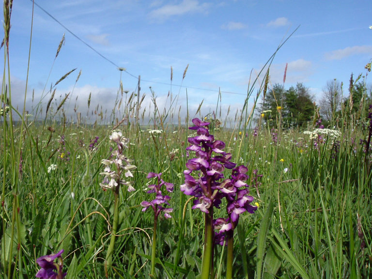 Early purple orchid. Photo: Mark North