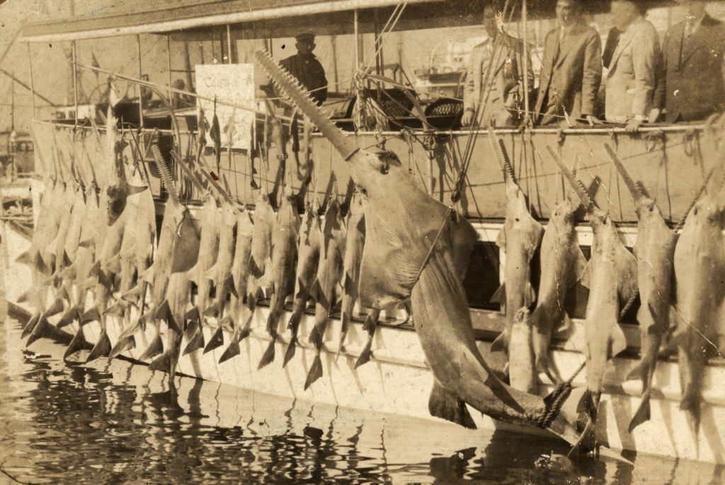 A large catch of sawfish hanging on the side of a boat C 1940