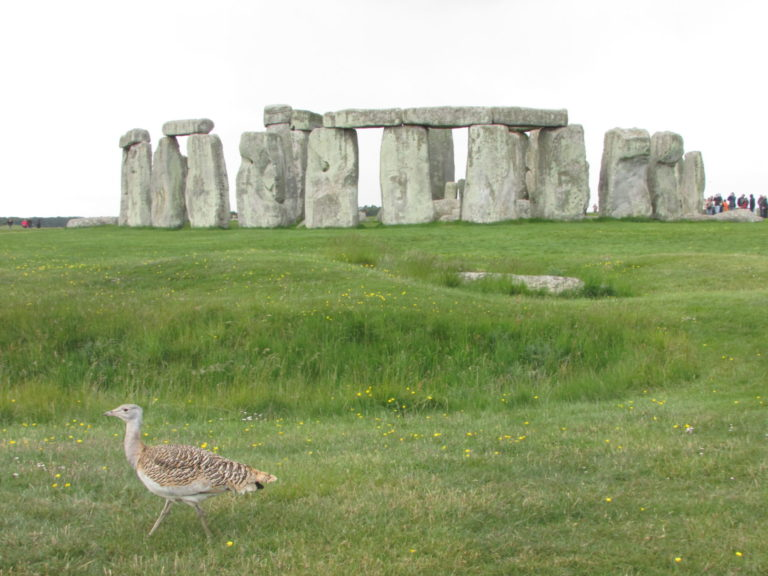 Great bustard at Stonehenge.