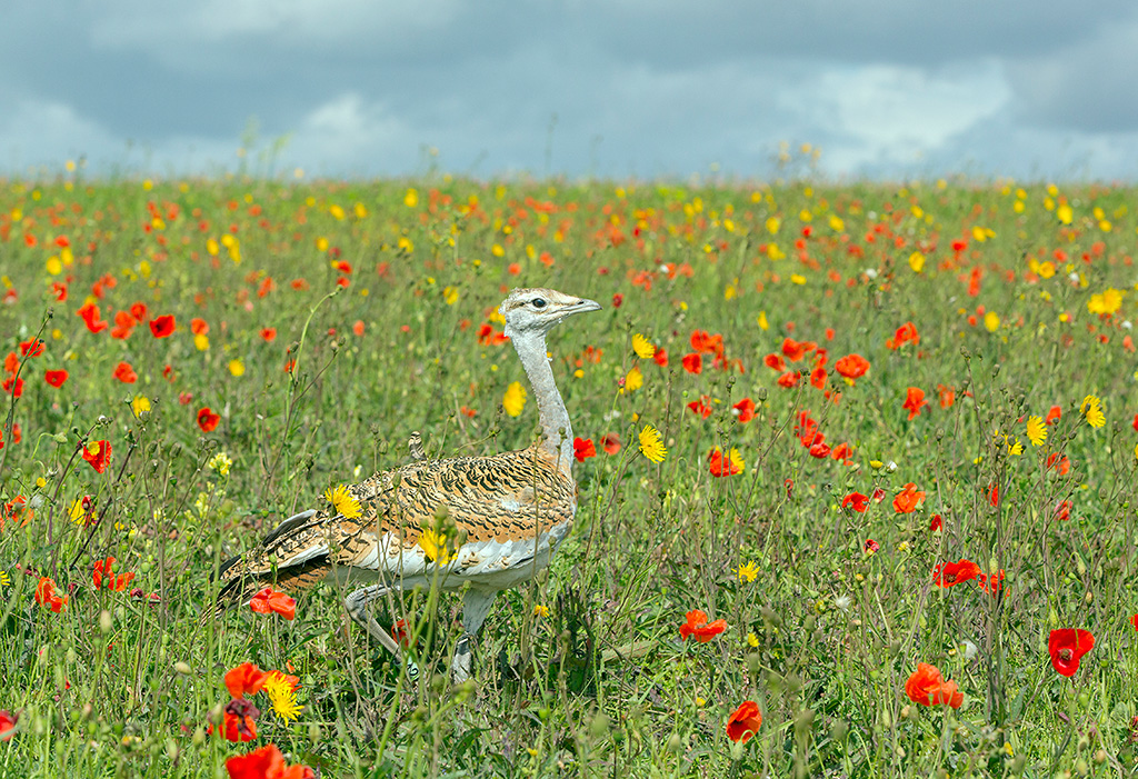 Juvenile great bustard in flower meadow