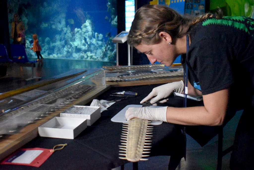 Woman taking sample from sawfish rostrum