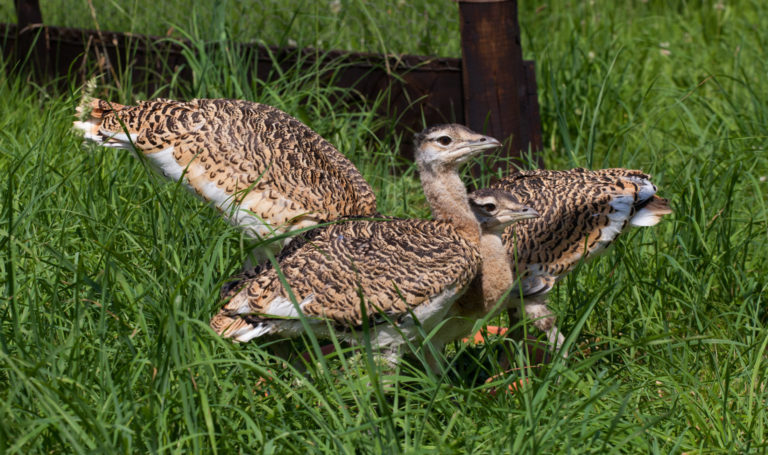 Great bustard chicks