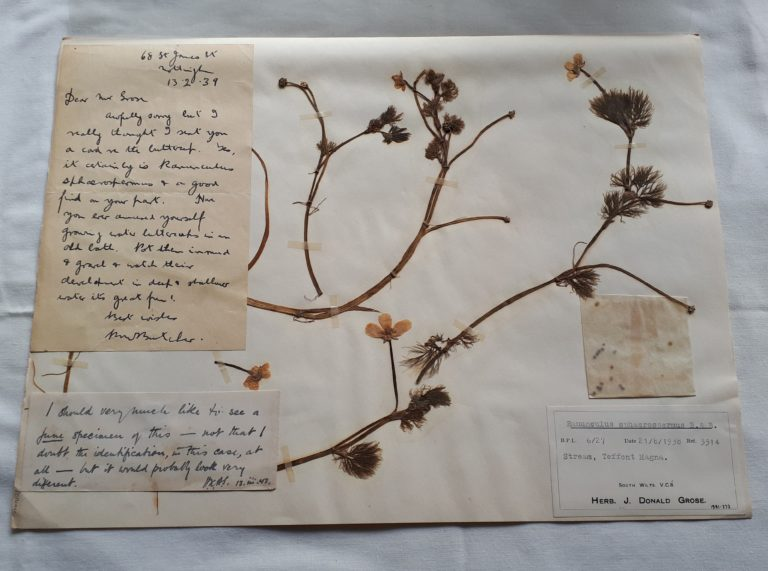 Dried buttercups mounted with notes from the collector