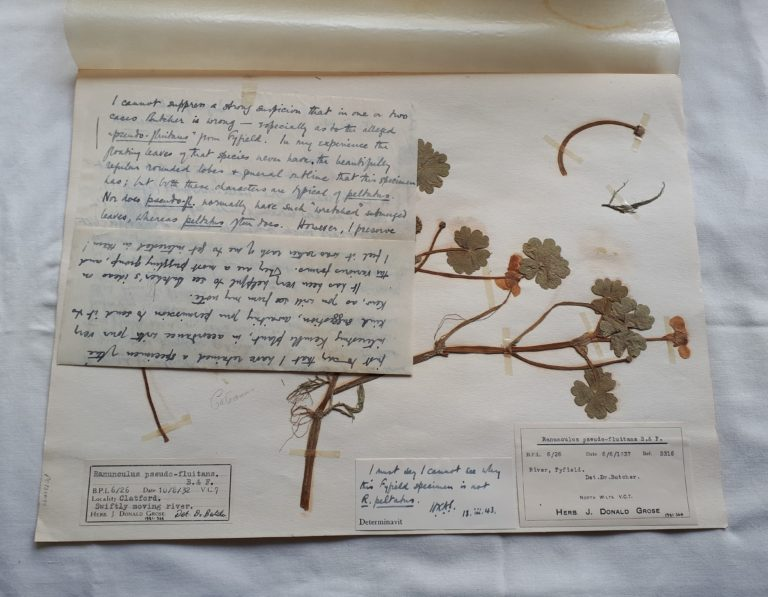 Dried buttercups with notes by collector