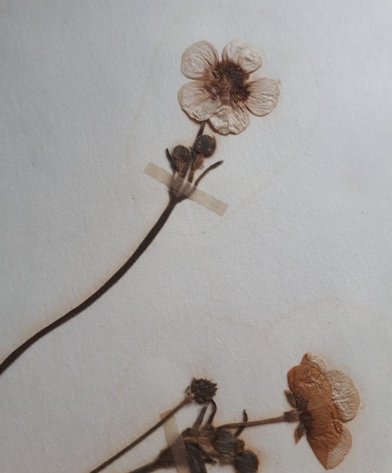 Dried buttercups close up