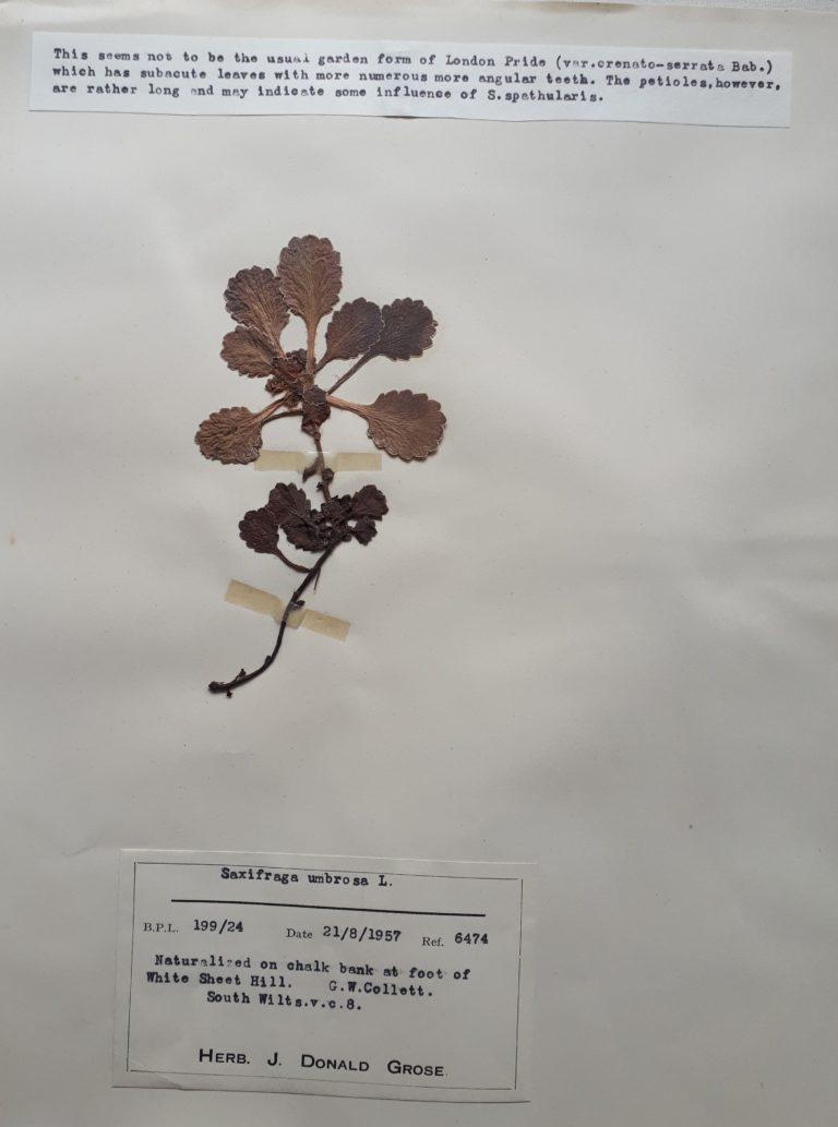 Dried saxifraga