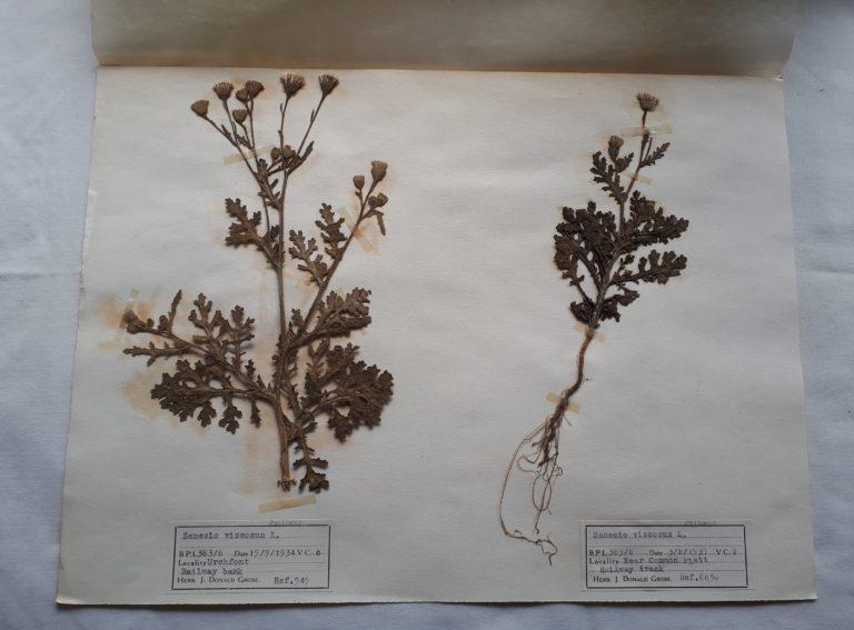 Dried ragwort