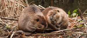 Two beavers eating twigs