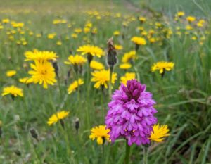 Lilac pyramidal orchid in field of yellow wildflowers