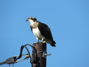 Osprey perched on telegraph post